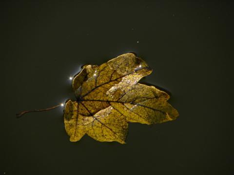 Schwimmendes Feldahornblatt