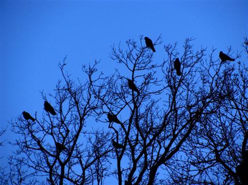 Krähen am Schlafbaum
