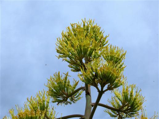 Agaven-Blütenkopf