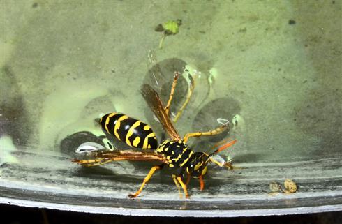 Wespe bei der Wasseraufnahme