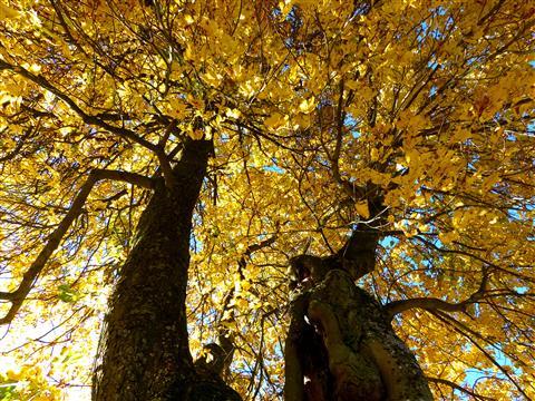Goldene Baumkrone