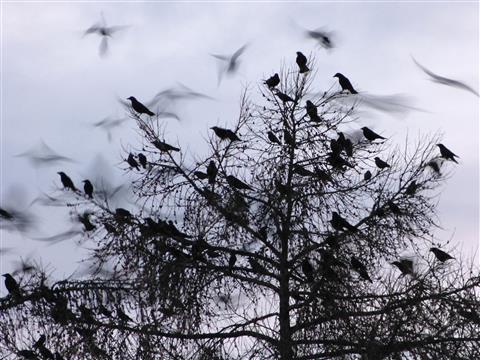 Krähen auf Schlafbaum