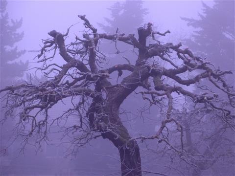 Apfelbaum im Dezemberfrühnebel