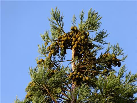 Mammutbaum-Samenstand
