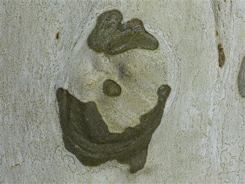 Platane-Gesicht