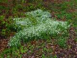 Waldhornkraut-Blumenbett im Wald