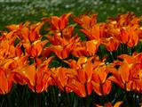 Tulpenfeuer