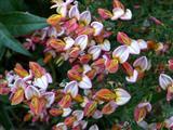 Ginsterblüten