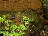 Zittenfelder Quelle-eine der Nibelungen-Siegfriedsquellen im Odenwald