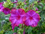 blühende Wunderblume