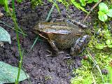 Grasfrosch