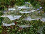 Baldachinspinnennetze