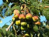 Speierling Früchte und Blätter