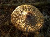 Rötender Riesenschirmling Kappe
