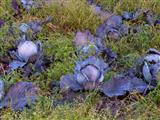 Blaukrautköpfe
