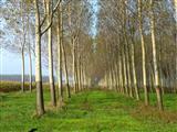 Pappelwald Ungarn bei Sopron
