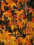 Amberbaum-Herbstfärbung