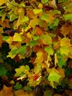 Tulpenbaum-Herbstfärbung