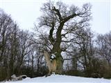 Napoleonseiche bei Triesdorf im Winter