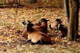 Herbstfärbung auch bei den Schafen
