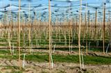 Junge Obstplantage im Bodenseegebiet am Jakobsweg