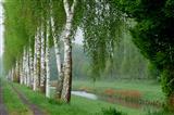 Birken am Flüsschen La Broye in der Schweiz
