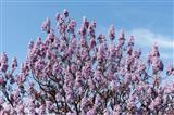 Chinesischer Blauglockenbaum am Genfer See