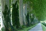 Stattliche Platanen entlang des Jakobsweges in Frankreich