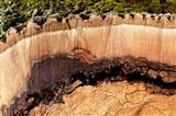 Stammholzbild einer alten Esche
