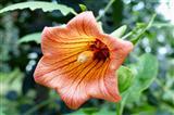 Blühende Canarina canariensis