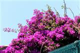Bouganvillea
