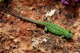 weibliche Smaragdeidechse