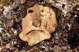Baumstumpfgesicht