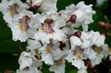 Trompetenbaumblüten