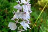 Schmetterlingsknabenkrautorchidee