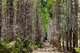 Eukalyptusplantagenwald