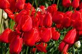 rote Tulpenpracht trotzt dem Winterwetter