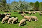 Triesdorf Schafe und Apfelblüte-ein Traum