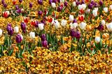 buntes Tulpenbeet