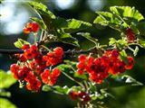 leckere rote Johannisbeeren