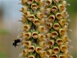 Digitalis ferruginea mit Hummel