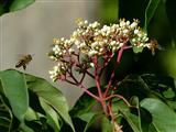 Bienen auf Bienenbaumblüten