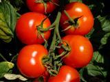 Sonnengereifte fränkische Tomaten