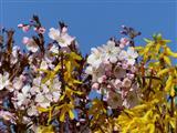 erblühter Frühling