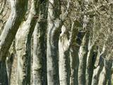 Triesdorfs graue Riesen-Platanenallee