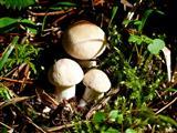 Maipilze-Tricholoma gambosa