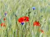 Klatschmohn und Kornblumen