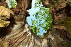 Hohle Linde mit Juchten-Käfer (Eremit) bei 4 Uhr