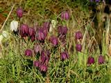 Schachbrettblumen