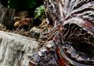 Hornissenangriff auf Wespennest